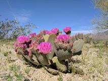 Cactus di fioritura Fotografie Stock Libere da Diritti