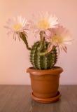 Cactus di fioritura a casa Fotografia Stock