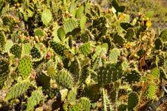 Cactus di fioritura e wildflowers generali indiani Fotografie Stock