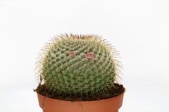 Cactus di fioritura rosa isolato su fondo bianco fotografia stock libera da diritti