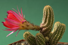 Cactus di fioritura rosso dell'arachide (Echinopsis) Fotografia Stock Libera da Diritti