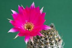 Cactus di fioritura rosso magenta (Echinopsis) Fotografia Stock