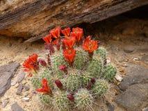 Cactus di fioritura in un deserto Immagini Stock Libere da Diritti