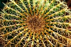 Cactus di forma rotonda Sfondo naturale floreale fotografia stock libera da diritti
