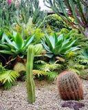 Cactus di Gian Fotografia Stock
