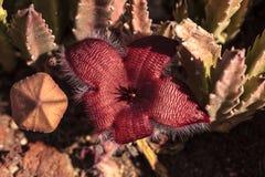 Cactus di gigantea di stapelia immagini stock libere da diritti