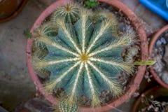 Cactus di impulso dalla cima immagini stock