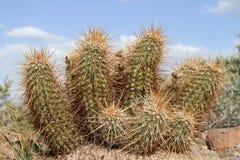 Cactus di istrice Immagine Stock
