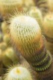 Cactus di leninghausii di Parodia immagine stock libera da diritti