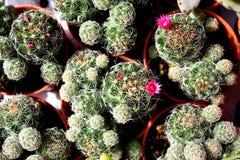 Cactus di mammillaria - Cactaceae Immagine Stock