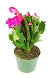 Cactus di natale Fotografia Stock
