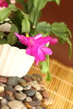 Cactus di natale Fotografie Stock
