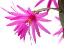 Cactus di natale Immagini Stock Libere da Diritti
