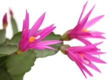 Cactus di natale Immagini Stock
