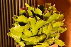 Cactus di natale Fotografie Stock Libere da Diritti