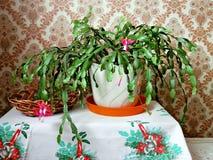 Cactus di Natale del fiore Fotografia Stock Libera da Diritti