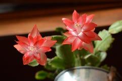 Cactus di natale rosso Immagine Stock