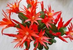 Cactus di Natale - rosso Fotografia Stock