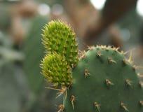 Cactus di opuntia ficus indica in serra Fotografie Stock