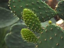 Cactus di opuntia ficus indica in serra Fotografia Stock