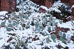 Cactus di Snowy - tempesta rara dell'Arizona Fotografie Stock Libere da Diritti