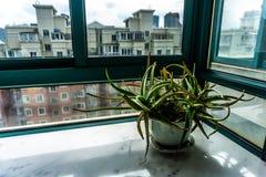 Cactus di vera dell'aloe fotografia stock