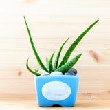 Cactus di vera dell'aloe in vaso blu Fotografia Stock Libera da Diritti