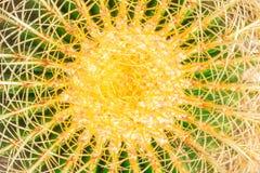 Cactus di verde giallo del Midsection Fotografia Stock Libera da Diritti