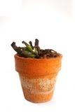 Cactus di Wither, cactus dell'ustione del sole Immagini Stock Libere da Diritti