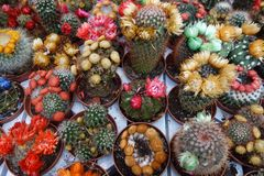 Cactus in different colours Royalty Free Stock Image