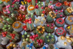 Cactus in different colours Royalty Free Stock Photography