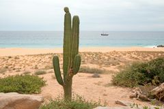 Cactus on Divorce Beach at Lands End in Cabo San Lucas in Baja California Mexico. BCS royalty free stock photos