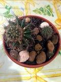 Cactus domestico Immagini Stock Libere da Diritti
