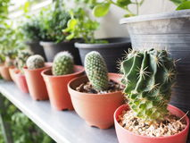Cactus domestico Fotografia Stock