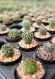 Cactus domestique Images libres de droits