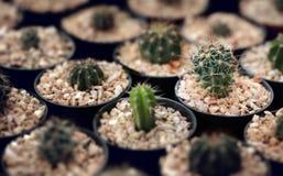 Cactus domestique Image libre de droits