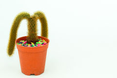 cactus Dos-ramificado Fotografía de archivo libre de regalías