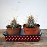 2 cactus in dotted tray stock photo
