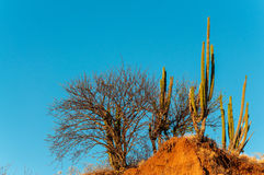 Cactus and Dry Trees Royalty Free Stock Images