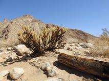 Cactus du ` s Cholla de coup d'oeil au parc d'état de désert d'Anza-Borrego photo libre de droits