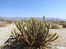 Cactus du ` s Cholla de coup d'oeil au parc d'état de désert d'Anza-Borrego images libres de droits