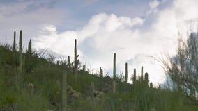 Cactus du Saguaro à flanc de colline banque de vidéos
