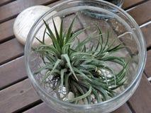 Cactus in duidelijk glas Stock Fotografie