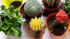 Cactus e fondo delle piante della casa dei succulenti Raccolta di varie piante della casa su fondo di legno bianco fotografia stock