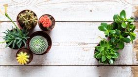 Cactus e fondo delle piante della casa dei succulenti Raccolta di varie piante della casa su fondo di legno bianco immagini stock libere da diritti