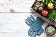 Cactus e fondo di fioritura dei succulenti Raccolta di vari piante della casa e guanti di giardinaggio su fondo di legno bianco fotografie stock
