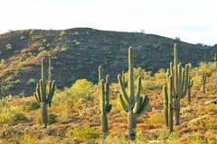 Cactus e montagna del saguaro Immagini Stock Libere da Diritti
