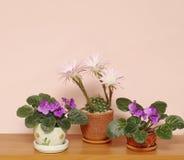 Cactus e senpolia di fioritura delle piante da appartamento Fotografia Stock
