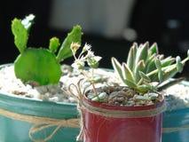 Cactus e succulenti fotografia stock libera da diritti