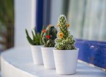 Cactus e succulenti Fotografia Stock